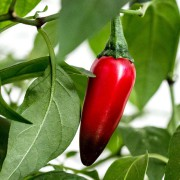 chilli-plant-second-800px-CC-LICENCEsmall