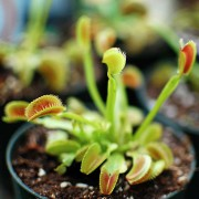 venus-fly-trap-second-800px-CC-Licencesmall